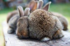 两只逗人喜爱的蓬松棕色兔子宏观视图和浅景深,选择聚焦 图库摄影