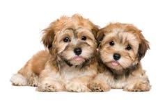两只逗人喜爱的说谎的havanese小狗 图库摄影