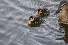 两只逗人喜爱的鸭子和母亲在水中低头游泳 图库摄影