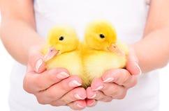 两只逗人喜爱的鸭子在女性手上 免版税库存照片