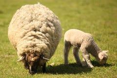 两只逗人喜爱的绵羊在草甸 免版税库存照片