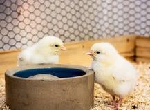 两只逗人喜爱的黄色小鸡 免版税库存图片