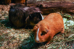 两只逗人喜爱的仓鼠在自然生态环境 库存照片