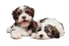 两只逗人喜爱的havanese小狗紧挨着说谎 免版税库存图片