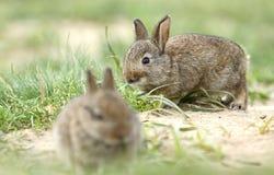 两只野生兔子 库存照片