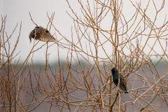 两只野生森林鸟坐在分支树的共同的椋鸟科在春天 图库摄影
