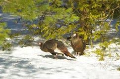 两只野生火鸡 库存图片