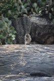 两只野生猴子特写镜头坐石头在猴子山Khao Takiab在华欣,泰国,亚洲 库存图片