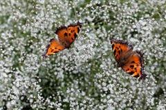 两只野生蝴蝶 免版税库存照片