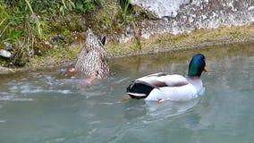 两只野鸭在河游泳 浸没为的野鸭的女性吃 股票录像