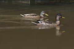 两只野鸭游泳 库存图片