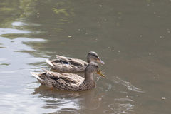 两只野鸭游泳 免版税图库摄影