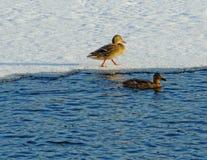 两只野鸭鸭子在冬天 库存照片