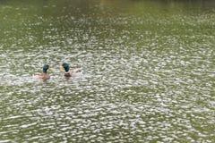 两只野鸭鸭子在湖 免版税图库摄影