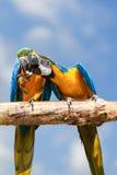 两只金刚鹦鹉。 库存照片
