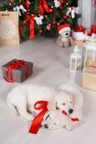 两只金毛猎犬小狗临近与礼物的圣诞树 免版税库存照片
