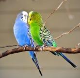 两只长尾小鹦鹉 免版税库存图片