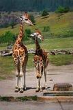 两只长颈鹿哺乳动物野生生物动物园 库存照片