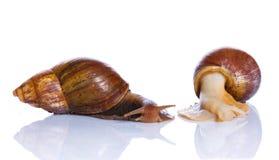 两只阿尔登蜗牛 免版税库存照片