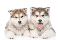 两只阿拉斯加的爱斯基摩狗小狗 背景查出的白色 库存图片