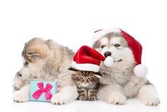 两只阿拉斯加的爱斯基摩狗狗和缅因树狸猫在红色圣诞老人帽子 查出在白色 库存照片