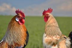 两只雄鸡互相反对在领域 免版税库存图片