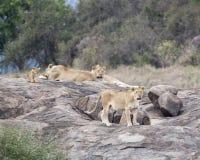 两只雌狮和一头狮子和一崽在一个大灰色岩石 免版税库存照片