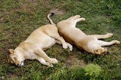 两只雌狮在草在并且有休息 免版税库存图片