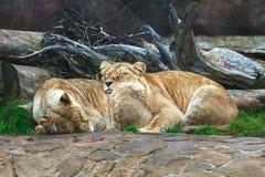 两只雌狮睡觉 库存图片