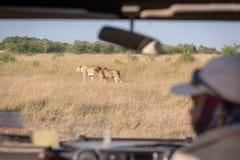 两只雌狮通过被看见的徒步旅行队卡车挡风玻璃 库存图片