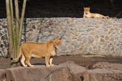 两只雌狮画象 库存图片