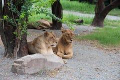 两只雌狮 免版税库存照片