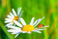 两只雏菊和瓢虫在领域 免版税库存照片