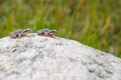 两只青蛙为花岗岩石头跳 免版税图库摄影