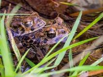 两只青蛙在锐化水面上,接近的池塘 库存照片