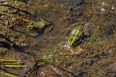 两只青蛙坐在池塘的-无尾目 免版税库存图片