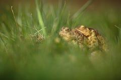 两只青蛙特写镜头  免版税库存照片