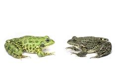 两只青蛙看看彼此 库存图片