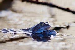 两只青蛙联接 侧视图 免版税图库摄影