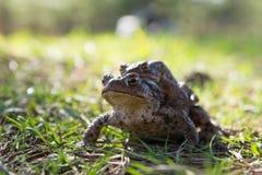 两只青蛙-欧洲蟾蜍(夫妇) 免版税库存照片