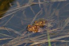 两只青蛙 免版税库存图片