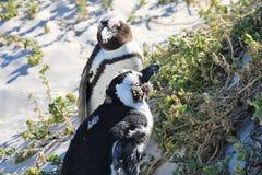 两只非洲企鹅享用太阳 免版税库存照片