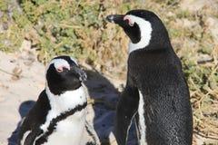两只非洲企鹅采取sunbath 免版税库存照片