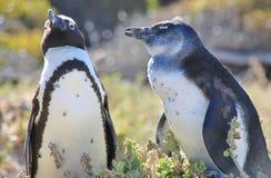 两只非洲企鹅紧挨着停留 图库摄影