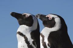两只非洲企鹅画象  免版税库存图片