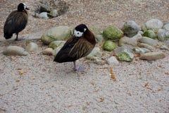 两只面无血色的吹哨的鸭子在动物园里 免版税图库摄影