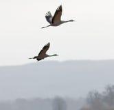 两只飞行的起重机鸟,山剪影在背景中 免版税库存图片