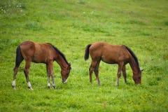 两只驹在草甸 库存照片