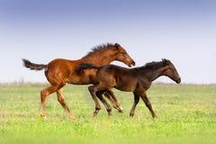 两只驹奔跑 库存图片