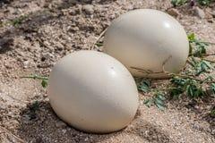 两只驼鸟鸡蛋,特写镜头 免版税库存照片